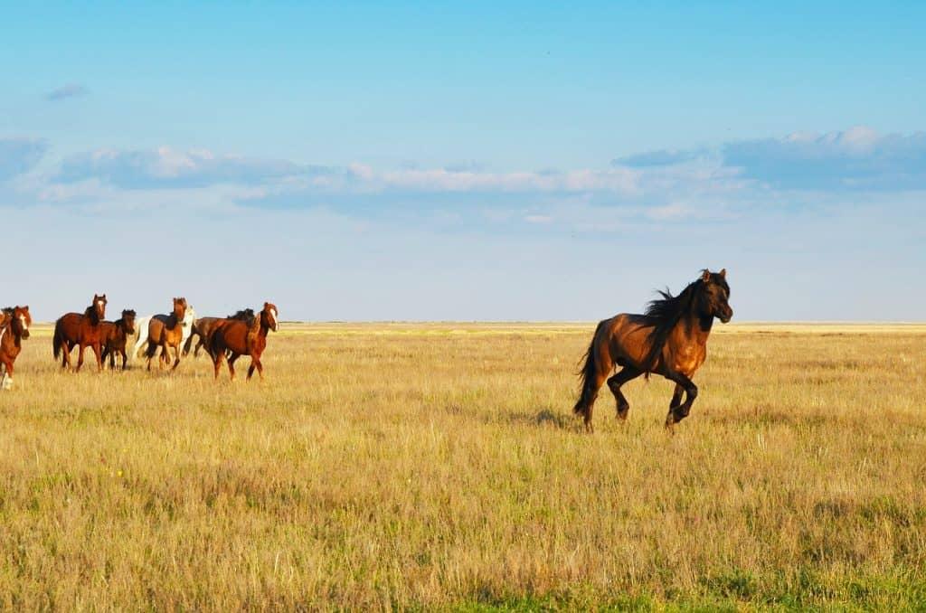 Kazahstan--konji