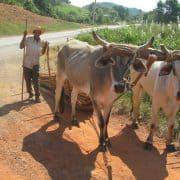 Cuba vinales plough cattle