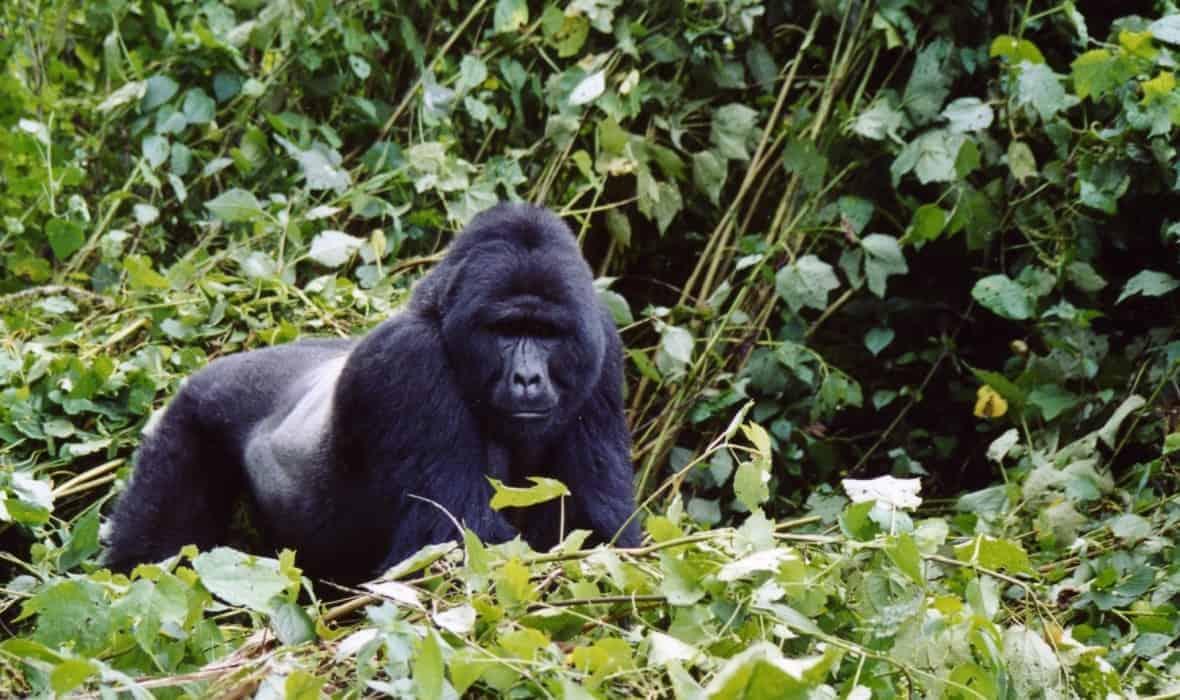 Opazovanje goril v ugandi 2