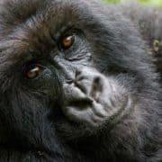 Opazovanje goril v ugandi 4