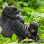 Po stopinjah goril v ruandi in ugandi 2