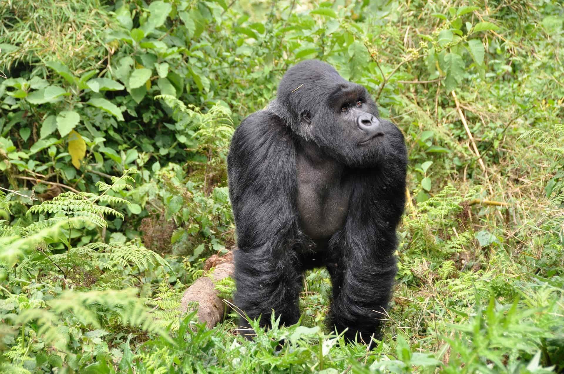 Po stopinjah goril v ruandi in ugandi 4