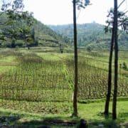 Po stopinjah goril v ruandi in ugandi 7
