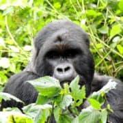 Po stopinjah goril v ruandi in ugandi 8