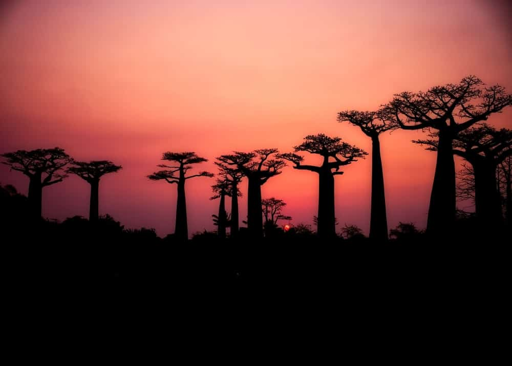 Avenija baobabov