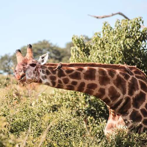 Chobe national park botswana sta potovanja nomad tours alja nike skrt 14 06 2017 02 07 2017 1