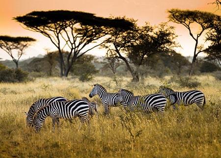 kenya zebras