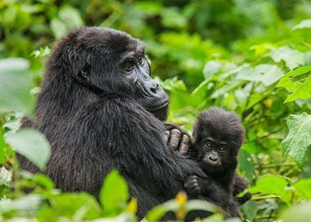 Promatranje gorila