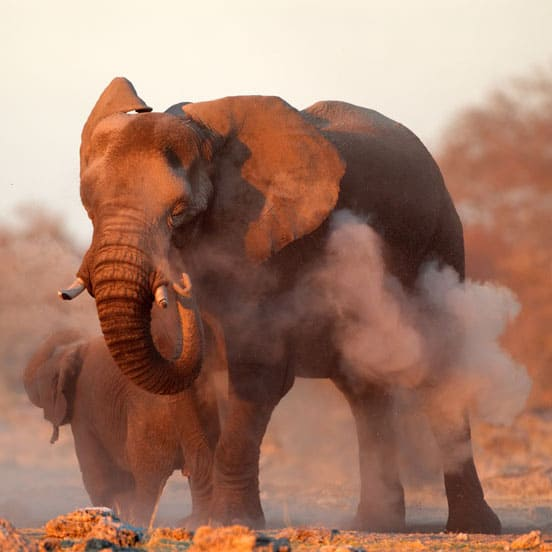 South african elephants 1