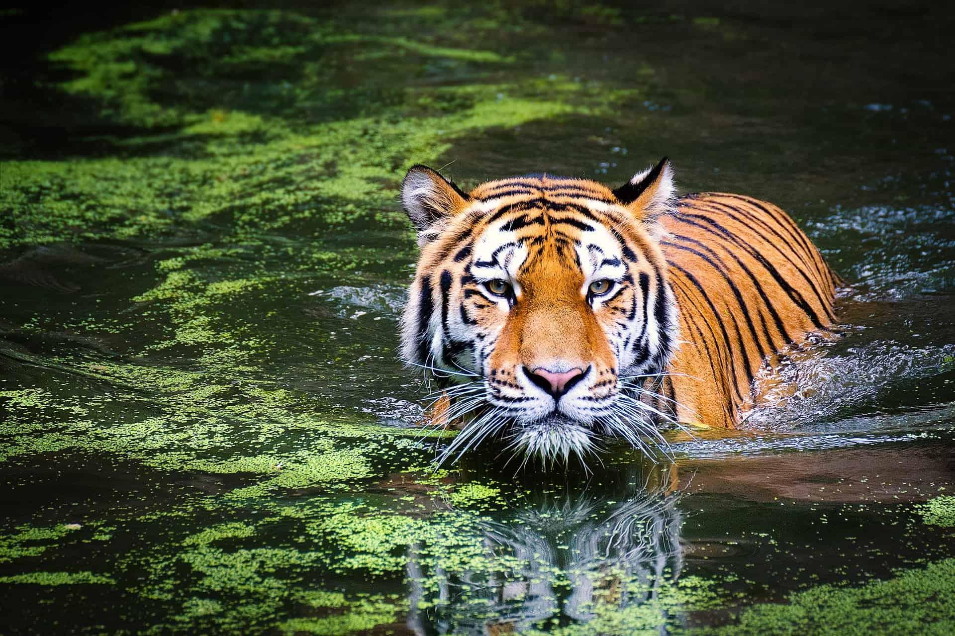 tiger 2535888 1920