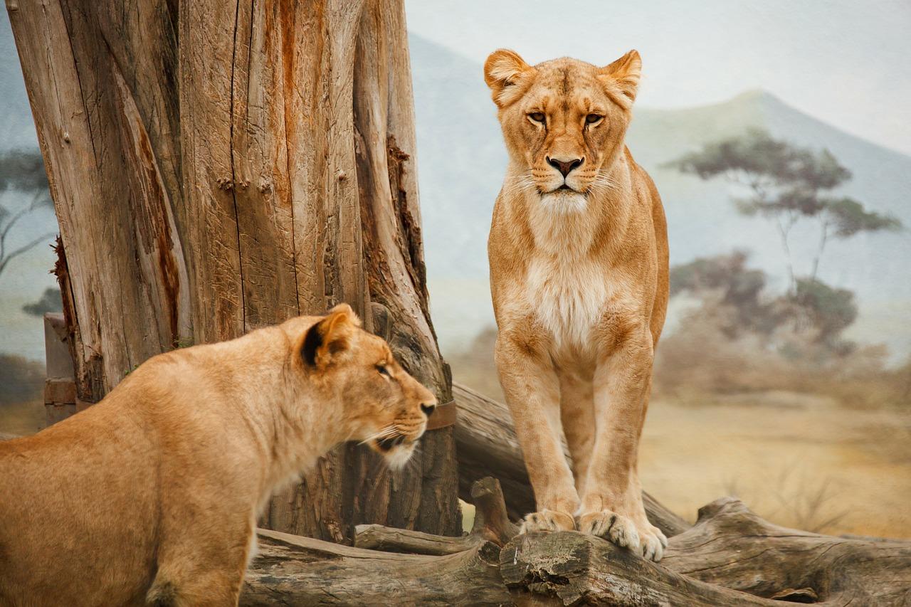 Južnoafrička Republika, lav