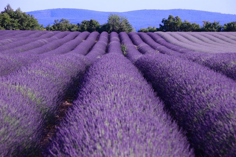 Francuska: Polja lavande