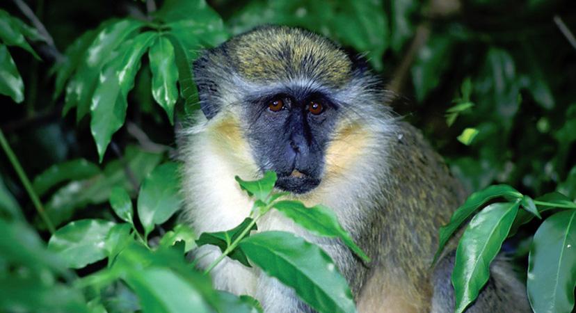 Putovanje na Rihannin Barbados, zeleni majmun