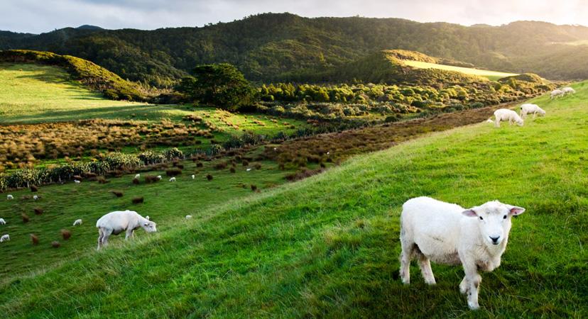 Novi Zeland, farma ovaca