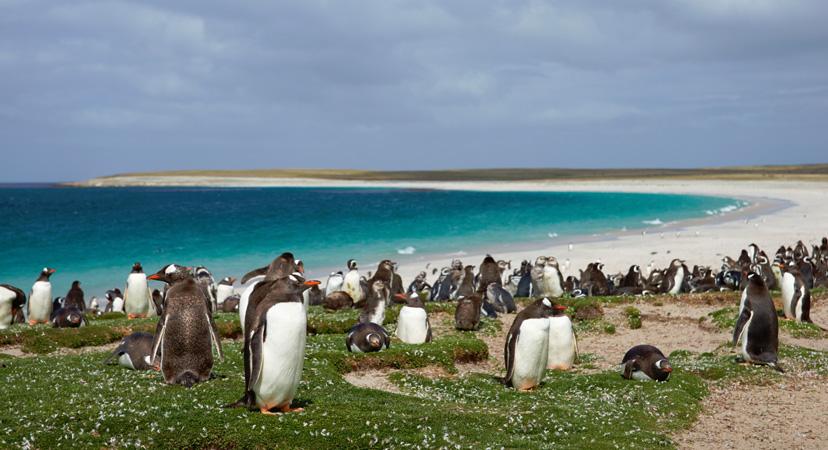 Pingivni, Falklandski otoci