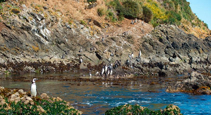 Gdje možete vidjeti pingvine? Otok Chiloe, Čile