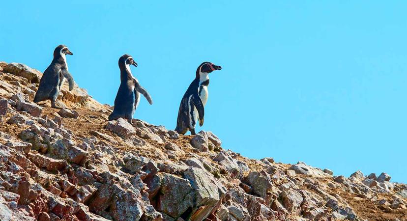 Gdje možete vidjeti pingvine? Peru