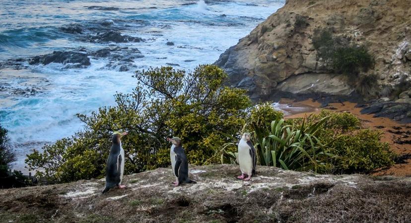 Gdje možete vidjeti pingvine? Novi Zeland