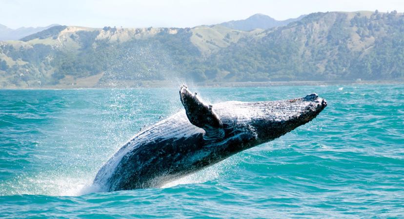 Havaji whale watching