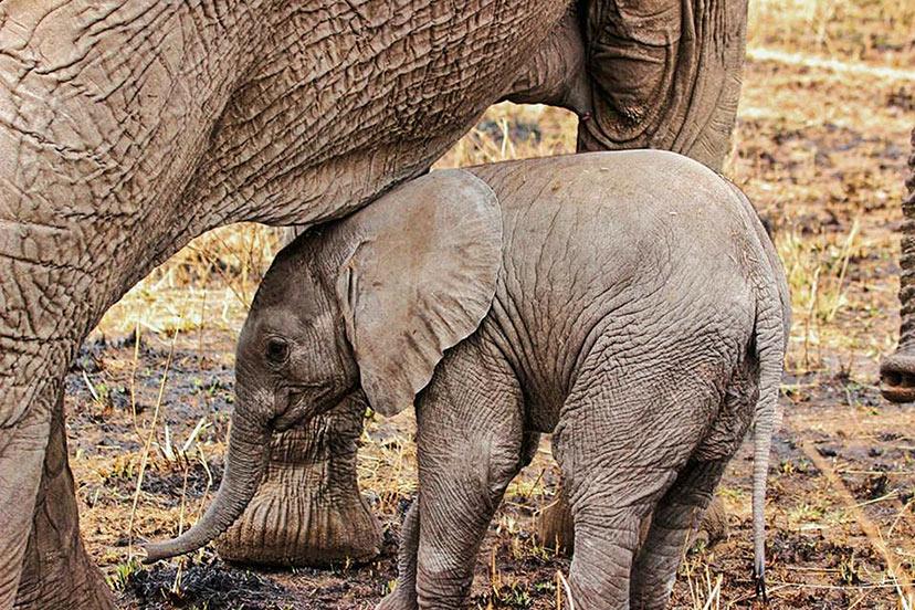 Tanzanija, Sloni