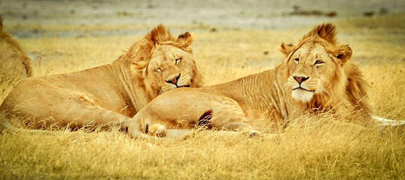 Tanzanija, lev, levji kralj