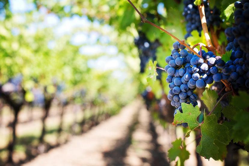 Vino, grozdje